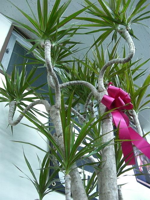 First Staff Blog-観葉植物,ドラセナ・マルギナータ