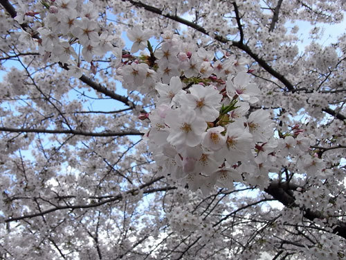 First Staff Blog-桜